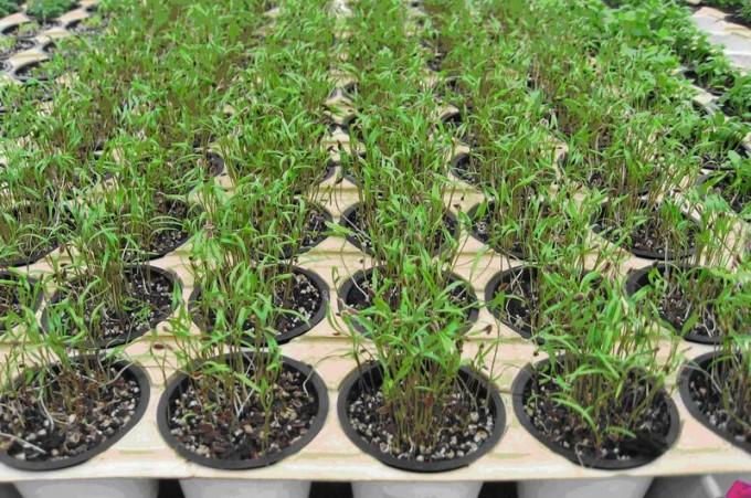 выращивание семян укропа